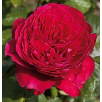 Trandafir pomisor, floare de culoare rosu-cardinal, Alain Souchon, Meilland #3