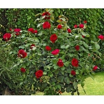 Trandafir pomisor, floare de culoare rosu-cardinal, Alain Souchon, Meilland #2