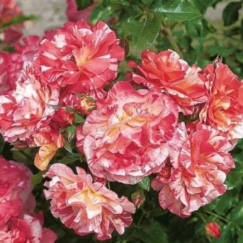 Trandafir cu flori grupate, de culoare roz, alb si galben, Alfred Sisley, Delbard