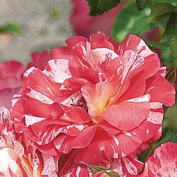 Trandafir cu flori grupate, de culoare roz, alb si galben, Alfred Sisley, Delbard #3