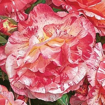 Trandafir cu flori grupate, de culoare roz, alb si galben, Alfred Sisley, Delbard #2