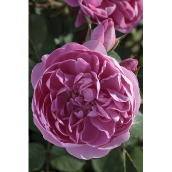 Trandafir urcator, floare de culoare roz inchis, Allegro, Meilland #2