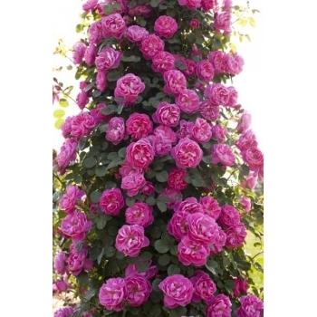 Trandafir urcator, floare de culoare roz inchis, Allegro, Meilland