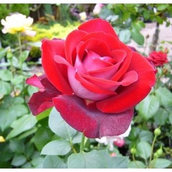 Trandafir cu flori mari, de culoare rosu purpuriu, Alleluia, Delbard #2