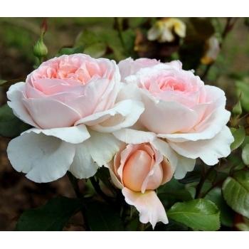 Trandafir urcator, cu flori roz pal, Andre le Notre, Meilland