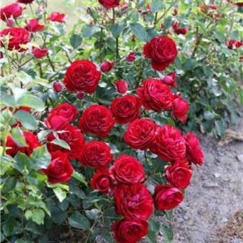 Trandafir cu flori grupate, de culoare rosu-inchis, Balmoral, Poulsen #2