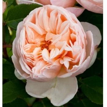 Trandafir cu flori mari, de culoare roz pal, Belle Romantica, Meilland #2
