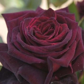 Trandafir cu flori mari, de culoare rosu-inchis, Black Baccara, Meilland
