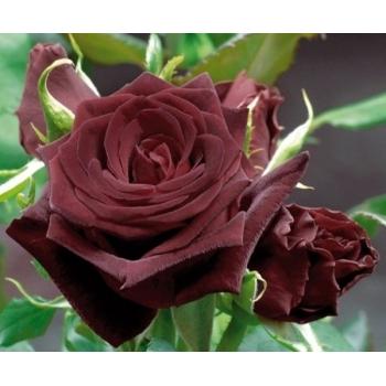 Trandafir cu flori mari, de culoare rosu-inchis, Black Baccara, Meilland #2
