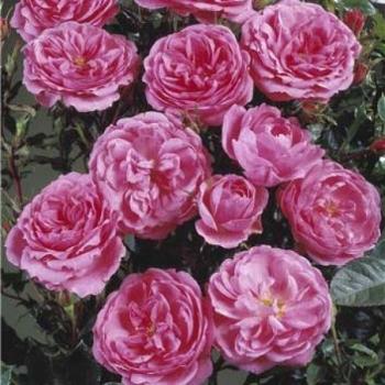 Trandafir urcator,  floare de culoare roz, Blues, Poulsen