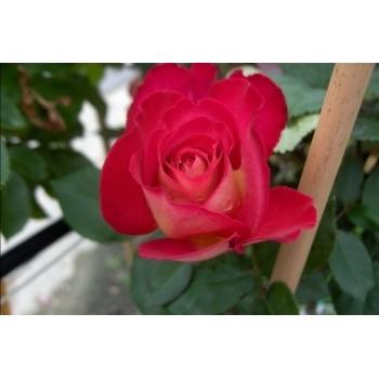 Trandafir cu flori mari, de culoare roz, Bolshoi, Meilland #2
