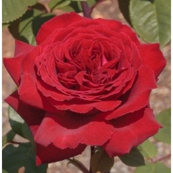 Trandafir cu flori mari, duble, de culoare rosie, Botero, Meilland #2