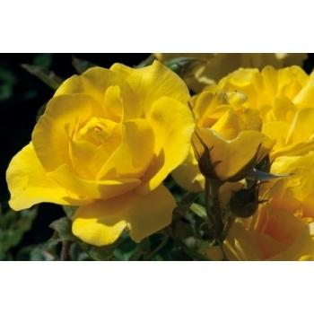 Trandafir cu flori grupate, de culoare galben aprins, Carte D'or, Meilland #2