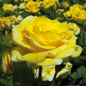 Trandafir cu flori grupate, de culoare galben aprins, Carte D'or, Meilland #3