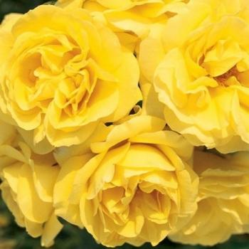 Trandafir cu flori grupate, de culoare galben aprins, Carte D'or, Meilland