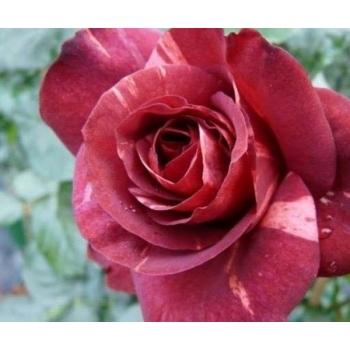 Trandafir urcator, cu flori de culoare rosu- caramiziu, Brownie, Meilland #2