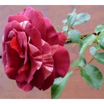 Trandafir urcator, cu flori de culoare rosu- caramiziu, Brownie, Meilland #3