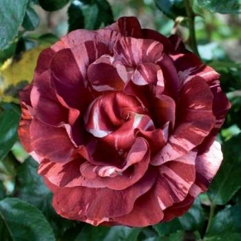 Trandafir urcator, cu flori de culoare rosu- caramiziu, Brownie, Meilland