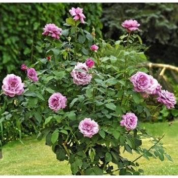 Trandafir pomisor, culoare mov-liliachiu, Charles de Gaulle, Meilland #2
