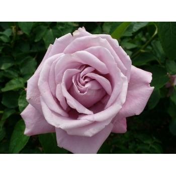 Trandafir pomisor, culoare mov-liliachiu, Charles de Gaulle, Meilland #3