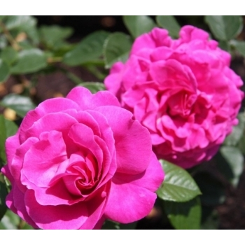 Trandafir cu flori mari, de culoare roz, Chartreuse de Parme, Delbard #2