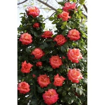 Trandafir urcator, floare de culoare portocaliu indian, Christophe Colomb, Meilland