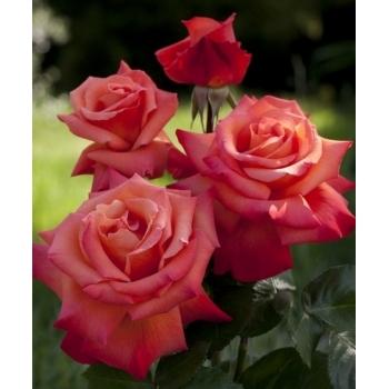 Trandafir urcator, floare de culoare portocaliu indian, Christophe Colomb, Meilland #3