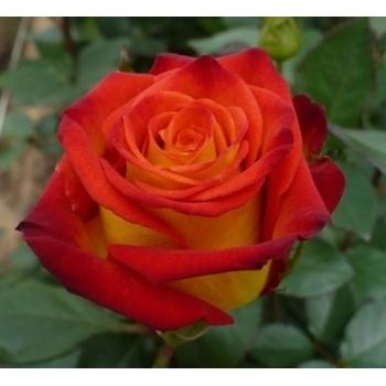 Trandafir pomisor, floare de culoare galben cu rosu-carmin, Circus, Famous Roses #2