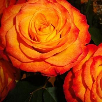 Trandafir pomisor, floare de culoare galben cu rosu-carmin, Circus, Famous Roses #3