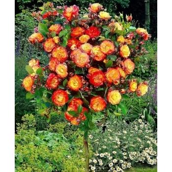 Trandafir pomisor, floare de culoare galben cu rosu-carmin, Circus, Famous Roses