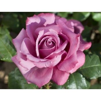 Trandafir cu flori mari, de culoare roz- violet,  Claude Brasseur, Meilland #2