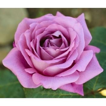 Trandafir cu flori mari, de culoare roz- violet,  Claude Brasseur, Meilland