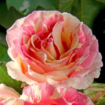 Trandafir cu flori mari, cu floare de culoare galben, rosu si alb, Claude Monet, Delbard #3