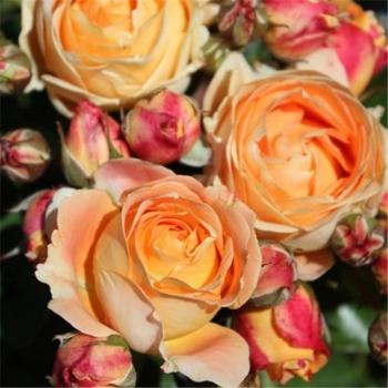 Trandafir de piesaj, floare de culoare galben-portocaliu, Dolce Vita, Delbard