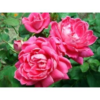 Trandafiri cu flori grupate, de culoare roz aprins, Double Pink Knock Out , Meilland #2