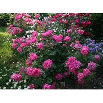Trandafiri cu flori grupate, de culoare roz aprins, Double Pink Knock Out , Meilland