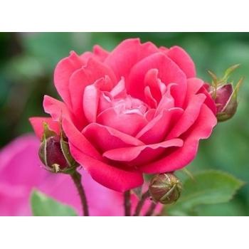 Trandafiri cu flori grupate, de culoare roz aprins, Double Pink Knock Out , Meilland #4
