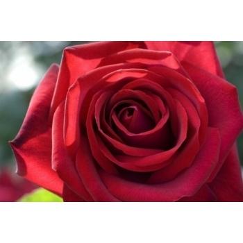 Trandafir cu flori mari, de culoare rosu-aprins,  Edith Piaf,  Meilland #2