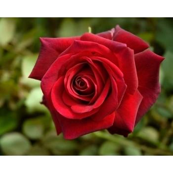 Trandafir cu flori mari, de culoare rosu-aprins,  Edith Piaf,  Meilland