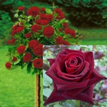 Trandafir pomisor, cu flori de culoare rosu intens, Erika Pluhar, Famous Roses