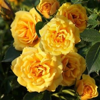 Trandafir urcator, cu flori de culoare galben, Flashdance, Poulsen #2
