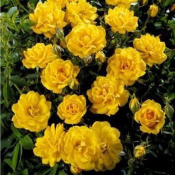 Trandafir urcator, cu flori de culoare galben, Flashdance, Poulsen