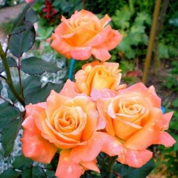Trandafir cu flori mari, de culoare portocaliu,  Flora Danica, Poulsen