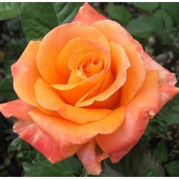Trandafir cu flori mari, de culoare portocaliu,  Flora Danica, Poulsen #3