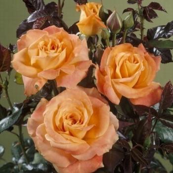 Trandafir cu flori mari, de culoare portocaliu,  Flora Danica, Poulsen #2