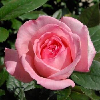 Trandafir cu flori mari, de culoare roz, Fragonard, Delbard #2