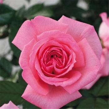 Trandafir cu flori mari, de culoare roz, Fragonard, Delbard