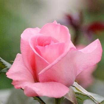 Trandafir cu flori mari, de culoare roz, Fragonard, Delbard #3