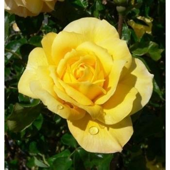 Trandafir pomisor, cu flori de culoare galben, Golden Delight, Famous Roses #2
