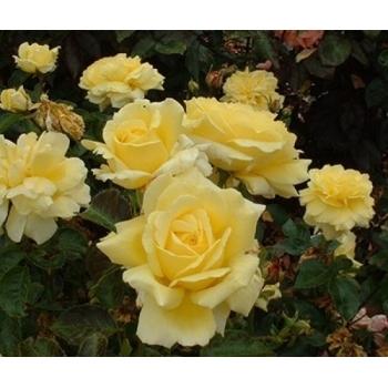 Trandafir pomisor, cu flori de culoare galben, Golden Delight, Famous Roses #3